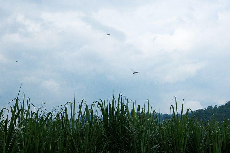 樸活契作蔗田,環境友善種植,蜻蜓成群飛舞。